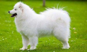 Chó samoyed và 18 điều quan trọng bạn cần biết