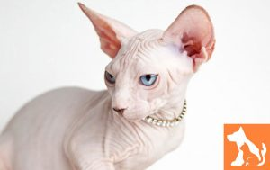 Mèo Sphynx và những điểm tuyệt vời bạn nên biết