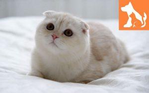 Mèo tai cụp và những đặc điểm tuyệt vời bạn nên biết