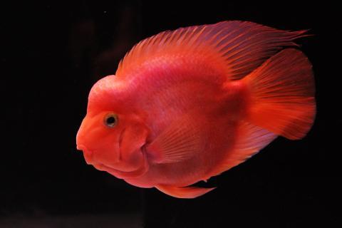cá la hán nuôi chung với những loại cá nào ?