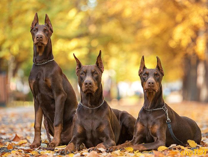 chó doberman pinscher thuần chủng, lai Đẹp, thông minh, giá rẻ toàn quốc