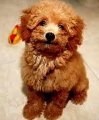 bảng giá chó poodle. mua bán chó poodle giá bao nhiêu? bán chó poodle giá rẻ tốt nhất