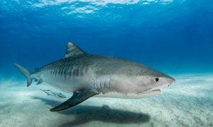 Cá mập báo – Wikipedia tiếng Việt