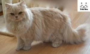bảng giá mèo anh lông dài