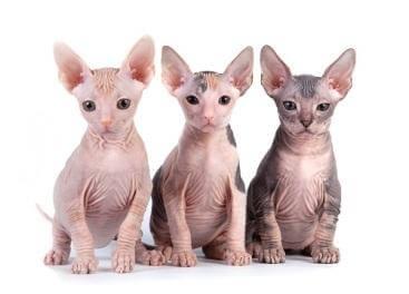 mèo ai cập sphynx không lông giá bao nhiêu? mua, bán ở đâu rẻ nhất