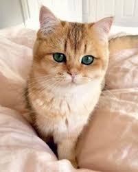 mèo silver / golden - bạn mèo