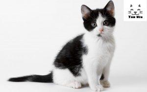 mèo munchkin chân ngắn mua bán ở đâu giá bao nhiêu tại hà nội & tphcm
