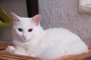 Mèo trắng vào nhà là điềm gì? Tốt hay xấu cho gia chủ