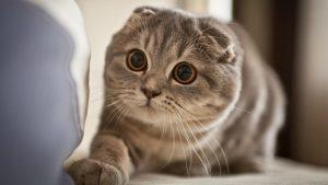 mèo tai cụp giá bao nhiêu tiền