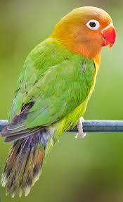 """vẹt sun conure - loài vẹt được mệnh danh """" chú hề của thế giới"""""""